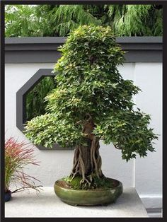 Bonzai 3 by *flowerpowerstock on deviantART Indoor Bonsai Tree, Bonsai Plants, Bonsai Garden, Garden Trees, Trees To Plant, Indoor Plants, Indoor Outdoor, Bonsai Trees, Cactus