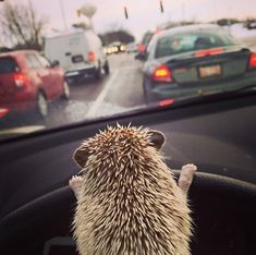 How does Reddit feel about hedgehogs driving cars? - Imgur
