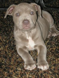 Cutest Pitbull Puppy Ever PRINCE