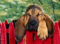 Bloodhound pup! I really want another one!