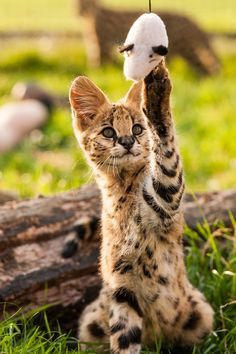 Cats In The Cradle Product Zoo Animals, Animals And Pets, Cute Animals, Puppies And Kitties, Cats And Kittens, Bulldog Puppies, Big Cats, Serval Kitten, Grand Chat