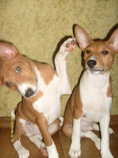 Things basenjis do