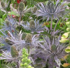Sea holly. Upright, thistlelike and a vivid shade of blue from tip to stem. landscape by Jess Knowles