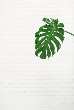 Monstera cut out leaves are just ridiculously good looking