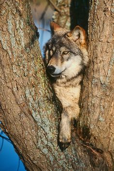 You can't see me!   ***     Wolf By David Davis
