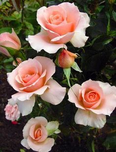 peace rose old fashioned full bloom Beautiful Roses, Beautiful Gardens, Beautiful Flowers Photos, Amazing Flowers, Cottage Rose, Garden Wallpaper, Rose Wallpaper, Rosa Rose, Bloom