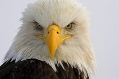 I love the look of intimidation of this beautiful bird. This photo was taken on a very cold March morning in Homer, Alaska. Eagle Face, Bald Eagle, Prints For Sale, Fine Art America, Dan, Art Photography, Digital Art, Gold Mine, The Incredibles