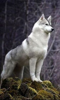 Siberian Husky standing at attention