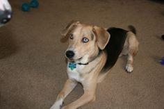 beagle shepherd mix   mix poochie and uncle smokey is a beagle-shepherd-retriever-husky mix