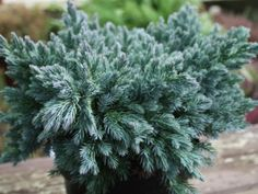 Juniperus squamata 'Blue Star'   Pflanzen- Zentrum - Horstmann Juniperus Squamata, Blue Star Juniper, Dwarf Shrubs, Drought Tolerant, Shade Garden, Shades Of Green, Evergreen, Habitats, Plant