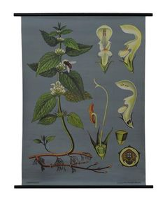 White Deadnettle Botanical Poster