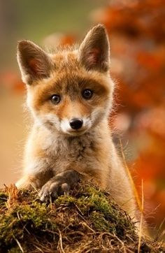 We had cute baby red foxes in our yard- they looked just like this.