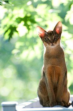Абиссинская кошка (фото): ум, грация и любознательность  Смотри больше http://kot-pes.com/abissinskaya-koshka-foto-um-graciya-i-lyuboznatelnost/