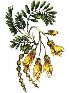 The Natural World - Kowhai, an art print by Emma Mallinen - INPRNT zealand tattoo The Natural World - Kowhai, an art print by Emma Mallinen Nature Drawing, Plant Drawing, Botanical Flowers, Botanical Art, Plant Illustration, Botanical Illustration, Video Nature, New Zealand Art, New Zealand Tattoo