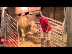 Reacción de un toro que vivió toda la vida atado cuando lo liberan y por fin puede correr | Schnauzi.com