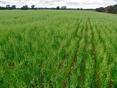 """Why pasture cropping is such a BigDeal. """"Pasture cropping involves seeding directly into pasture (no soil disturbance) and then grazing in between harvest and re-planting, to encourage pasture species diversity and resilience."""""""