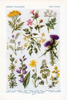 Vintage Botanical Prints, Botanical Drawings, Vintage Prints, Botanical Flowers, Botanical Art, Rose Flowers, Wedding Flowers, Illustration Botanique Vintage, Vintage Botanical Illustration