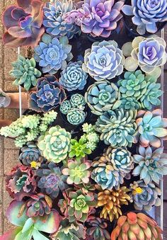 How pretty are these succulents from via Have a wonderful Sunday ahead. So many pretty succulents! Growing Succulents, Planting Succulents, Planting Flowers, Rainbow Succulent, Plants Are Friends, Succulent Arrangements, Interior Plants, Cactus Y Suculentas, Succulent Terrarium