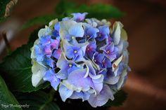 Blue & Purple Hygrandea