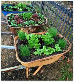 Raised Veggie Gardens In Recycled Wheelbarrows.