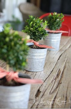 small boxwoods in tin buckets with striped ribbon.