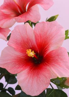 Flowers Photograph - Hibiscus Flower Close-up In Shades Of Red And Pink by Rosemary Calvert photography close up Getty Images - Shop - Flowers (Page of Simple Flower Drawing, Easy Flower Painting, Flower Painting Canvas, Flower Art, Tropical Flowers, Hibiscus Flowers, Exotic Flowers, Beautiful Flowers, Purple Hibiscus