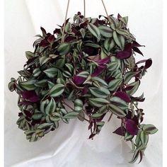 """House Plant Purple Wandering Jew - 6"""" Hanging Pot Easy to Grow Indoor Best Gift #PurpleWanderingJew"""