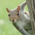 Squirrel is one of the most common nuisance that take up residence in your home or attic, gnawing through cable,wiring, plumbing, and roofing. Most common squirrel problem recognized that running around the home and make a noise in the attic it look like a rat.Get Now: http://www.critterandpestdefense.com/squirrel-removal/