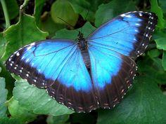 butterfly wings Butterfly Facts, Blue Butterfly Wallpaper, Butterfly Background, Butterfly Clip Art, Morpho Butterfly, Butterfly Images, Blue Morpho, Butterfly Drawing, Purple Butterfly