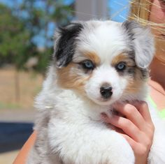 Blue Merle Mini Aussie puppy from Honey Lake Mini Aussies Australian Shepherds, Mini Aussie Shepherd, Mini Aussie Puppy, Aussie Puppies, Blue Merle, Aussies, Corgi, Honey, Animals