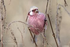 long-tailed rose finch by morez Types Of Animals, Pink Bird, Aesthetic Themes, Wombat, Nature Animals, In The Flesh, My Animal, Beautiful Birds, Mother Nature