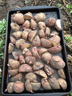 What is your favorite potato to grow? @SimpLiveLove gives us tips on how to maximize our harvest when planting seed potatoes! #gardenchat