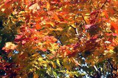 Ahornrot im Herbst