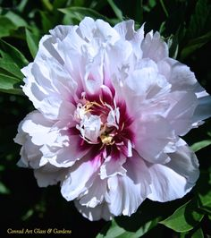 'Cora Louise' intersectional peony