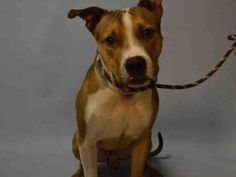 KILLED!!! SHAME NY!!!!   MY LIFE MATTERED!!! KING BABY – A1061785 MALE, TAN / WHITE, AMERICAN STAFF MIX, 1 yr OWNER SUR – EVALUATE, NO HOLD Reason MOVE2PRIVA Intake condition EXAM REQ Intake Date 12/29/2015, From NY 11385, DueOut Date 12/29/2015