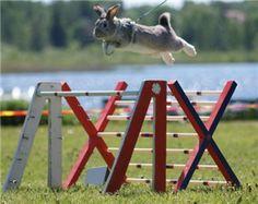 Rabbit hopping new record 97 cm !!  http://kaninhoppning.ifokus.se/articles/4d71435fb9cb462244058907-nytt-svenskt-rekord-97cm