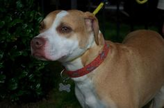 Meet Goldie Hawn, a Petfinder adoptable Staffordshire Bull Terrier Dog | Memphis, TN | Update 5/27/15:Goldie was found hungry, wandering around the neighborhood during the winter before...