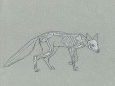 Alexis Demetriades Science Illustration: Quick Skeleton Study- Red Fox