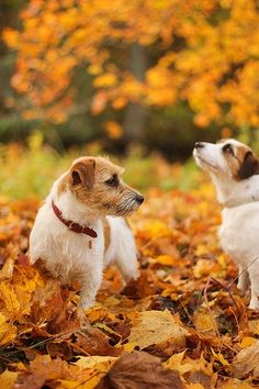 Jack Russell Terriers playing in autumn leaves. Jack Russell Terriers, Jack Russell Dogs, Gato Animal, Mundo Animal, I Love Dogs, Cute Dogs, Le Husky, Dog Items, Tier Fotos