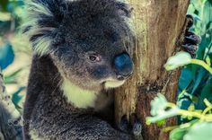 A Koala-ty Portrait by Sheree Grace on 500px