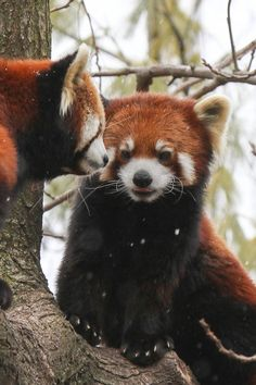 h4ilstorm:      Two Red Pandas Sitting in a tree …… (by Mark Dumont)