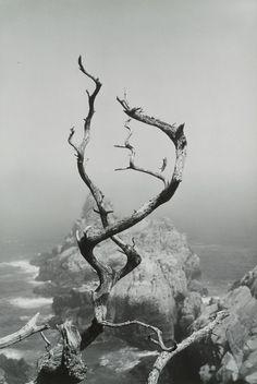 Minor White, Cypress Grove Trail, Point Lobos, California 1951