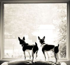 rat terriers Just like my Nester & Gracie *Nester is in Heaven now