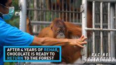 Orphaned Orangutan's Story Shows Why We Need Responsible Palm Oil Policies Sumatran Orangutan, Baby Orangutan, Orangutans, Rainforest Action Network, Racing Extinction, Palm Oil, Primates, Orphan, Conservation