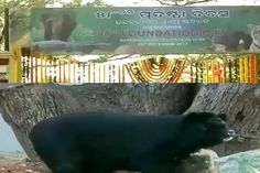 New Member: Nandankanan Gets New Himalayan Bear On 58th Foundation Day -  http://odishasamaya.com/odisha/new-member-nandankanan-gets-new-himalayan-bear-on-58th-foundation-day/96916/ #Odisha