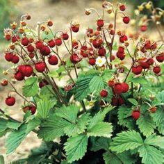 Fragaria vesca - Walderdbeere - wild/woodland strawberry