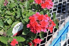 Tukana Raspberry Verbena closeup