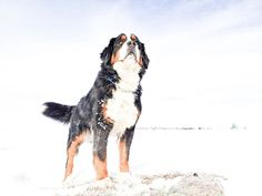 Photo's of Bernese Mountain dogs, golden retrievers, moyen poodle, puppies in alberta Mini Bernedoodle, Mini Goldendoodle, Bernese Mountain, Mountain Dogs, Moyen Poodle, Doge, Puppies, Gallery, Animals