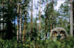 Owl by Hannu Hautala