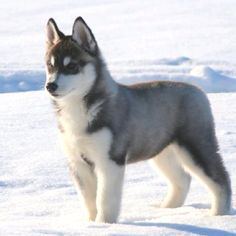 I want a siberian husky sooo bad!